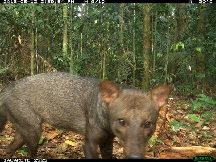 Bí ẩn về 'ma chó vùng Amazon' lần đầu được giải đáp