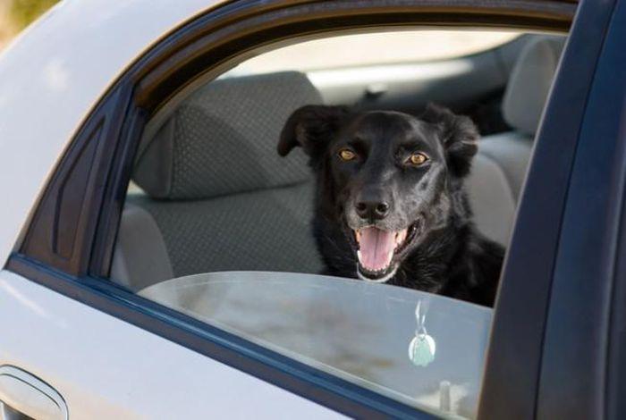 Chú chó đi vào kỷ lục Guinness vì biết mở kính xe