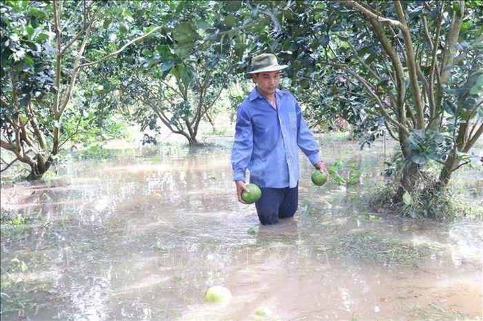 Sạt lở đê bao gây ngập úng hơn 40 ha vườn cây ăn trái ở Bến Tre. Ảnh: TTXVN