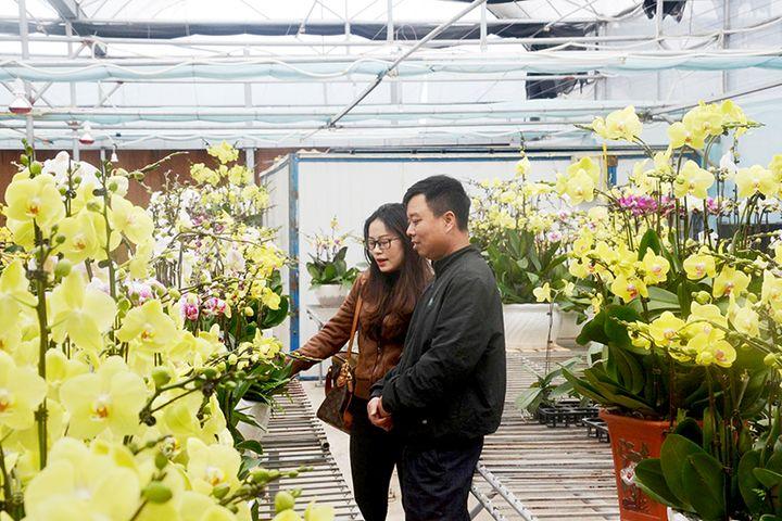 Nhiều dự án trồng hoa chất lượng cao ứng dụng KH-CN đã được người dân trên địa bàn huyện Hoành Bồ triển khai thực hiện đạt hiệu quả.